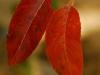 Autumn Leafe